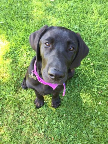 Lucie the Black Labrador