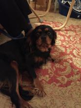 Peggy the Cavalier King Charles Spaniel
