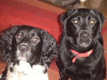 Harvey the Springer Spaniel and George the Labrador