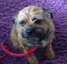 Lilly the Border Terrier