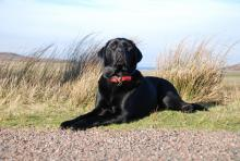 Elvis the Black Labrador