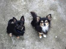 Baker & Boo the Chihuahuas