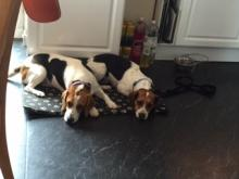 Reggie and Nellie the Beagles