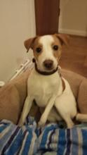 Bob the Jack Russell
