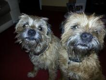 Jake and Bo the Border Terriers