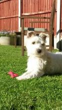 Charlie the Parson Jack Russell