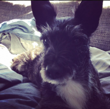 Hamish the Scottish Terrier Cross