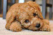 Harry the Cavapoo