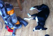 Jess the border Collie relaxed by the hoover