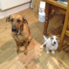 Rosie and Jerry the Ridgeback/Alsatian cross and Jack Russell