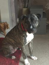 Ruby the Staffie