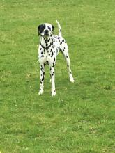 Stanley the Dalmatian