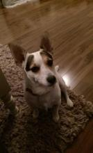 Tilly the Jack Russell