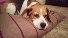 Florence the Beagle