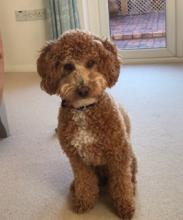 Bailey the Poodle Cross