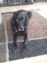 Ludo the Black Labrador