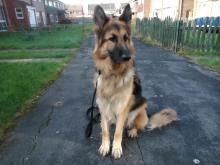 Bran the German Shepherd