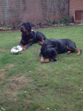 Bruce the Rottweiler