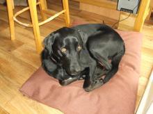Chester the Black Labrador