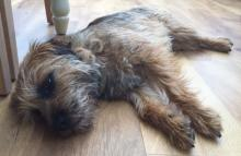 Crumble the Border Terrier
