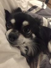 Daddy the Chihuahua