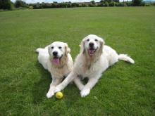 Diesel and Zeba the Golden Retrievers