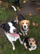 Fergie, Dougie and Cooper the Collie and Beagles