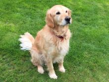 Heidi the Golden Retriever