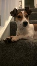 Remy the Jack Russell
