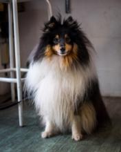 Sonny the Shetland Sheepdog