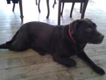 Tara the Labrador