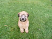 Winston the Wheaten terrier